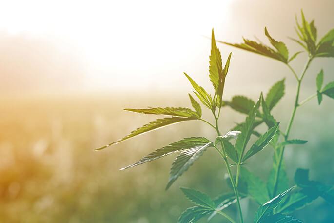 Marihuana i jej wpływ na mózg nastolatka